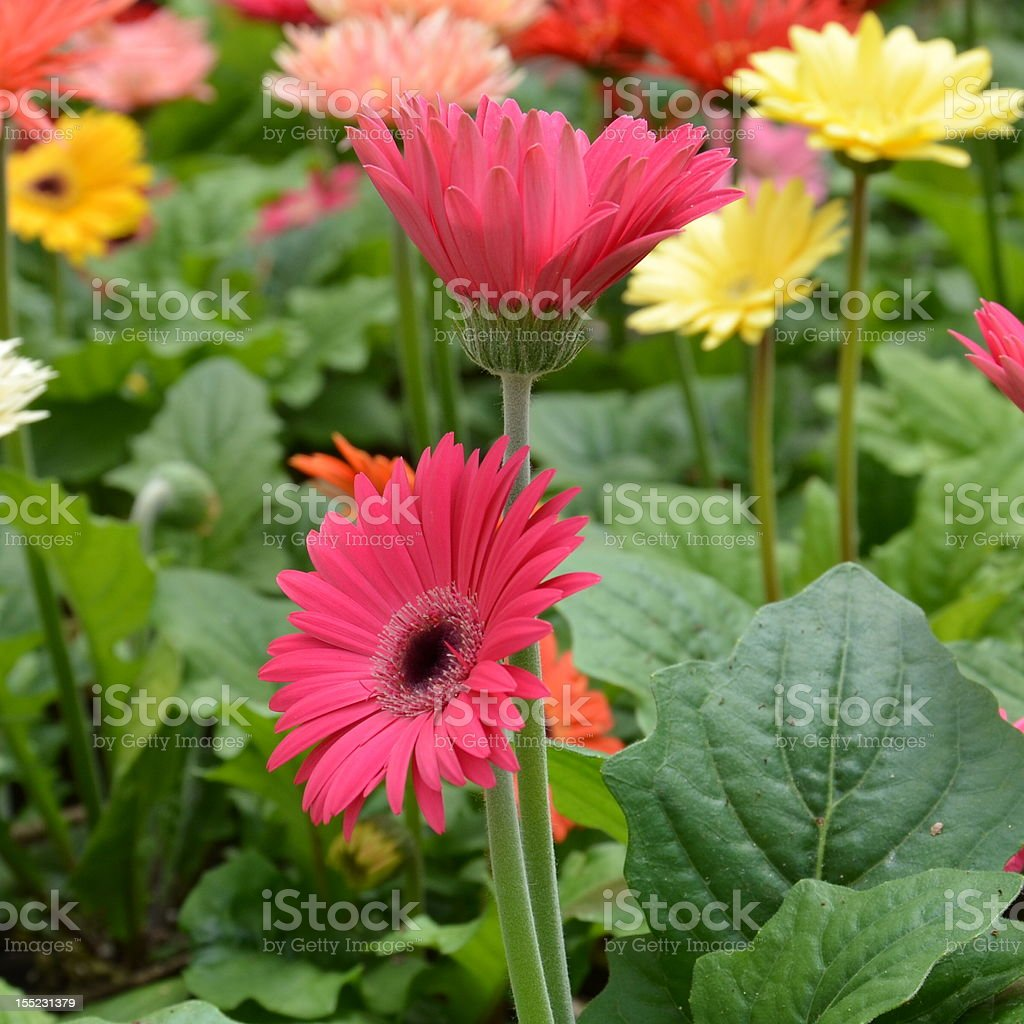 Bed of flowers royalty-free stock photo