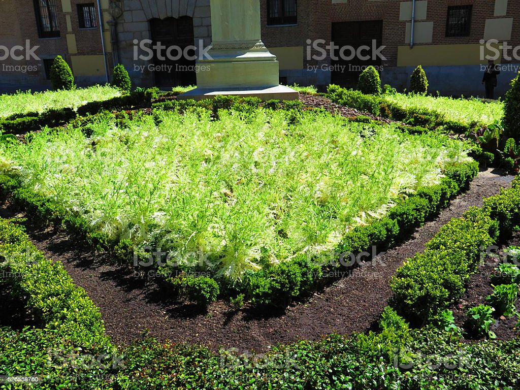 Bed of frizzy lettuce stock photo