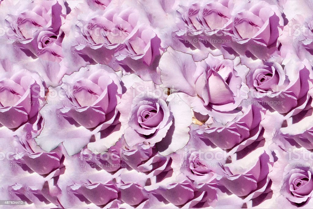 Bed of lilac roses stock photo
