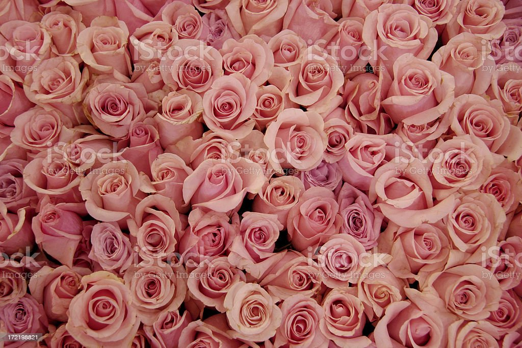 Bed of pale pink roses stock photo