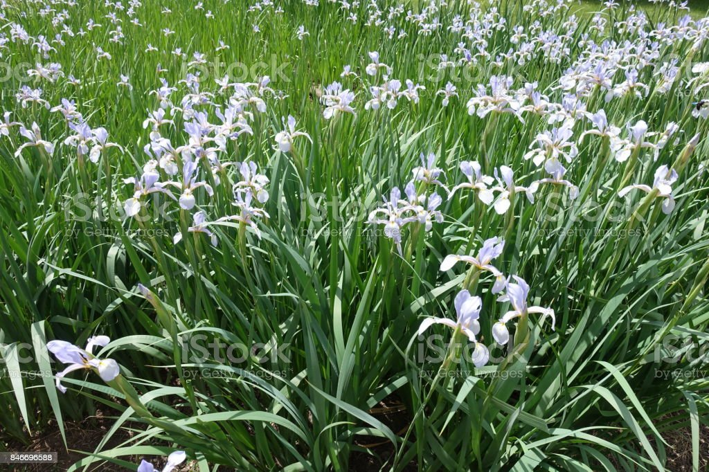 Bed of pale violet butterfly iris flowers stock photo