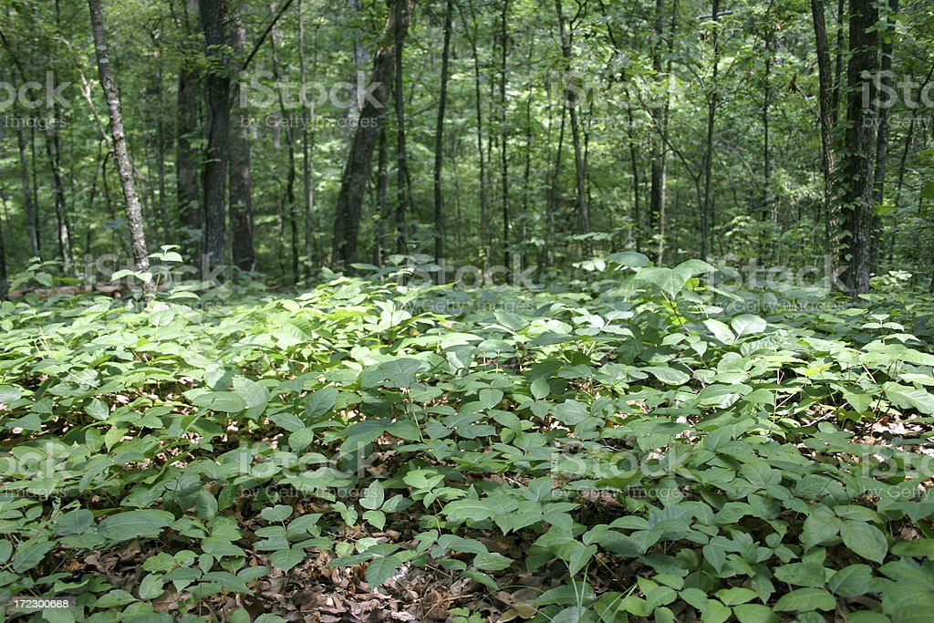 Bed of Poison Ivy stock photo