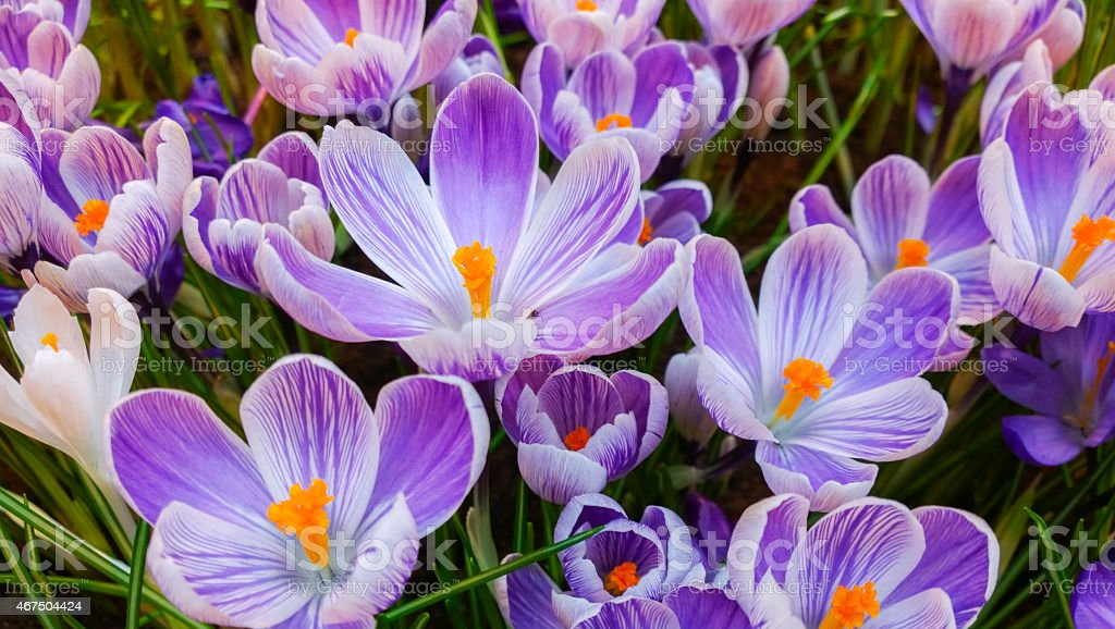 Bed of Purple Spring Crocus close-up stock photo