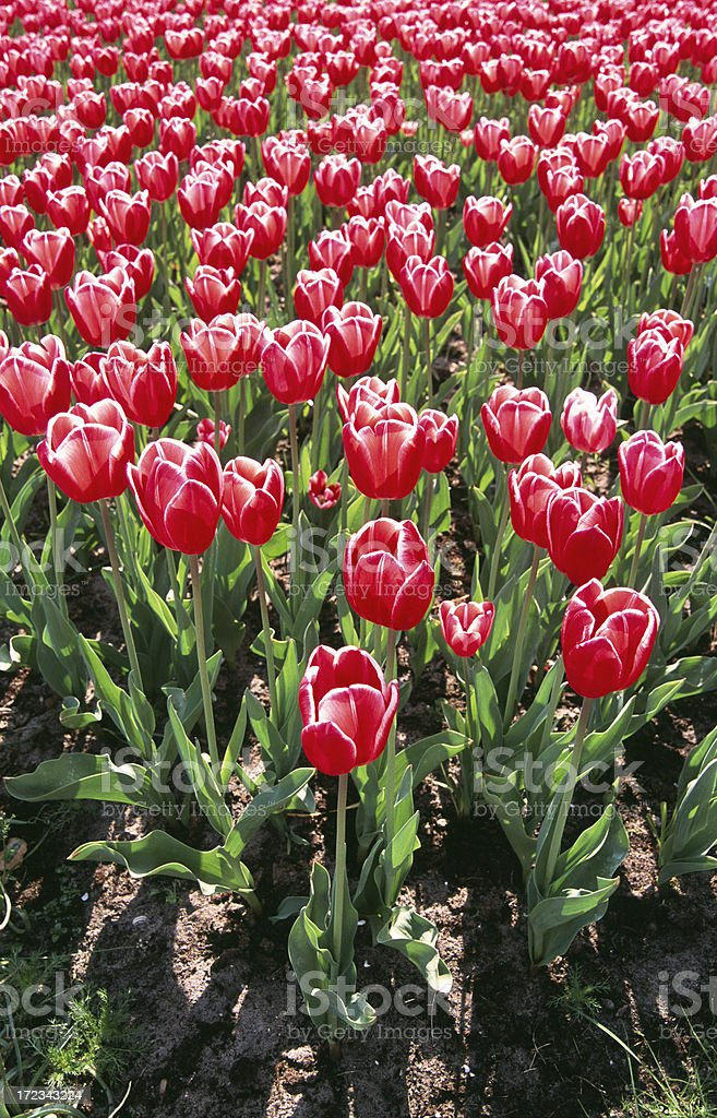 Bed of red and white tulips. stock photo