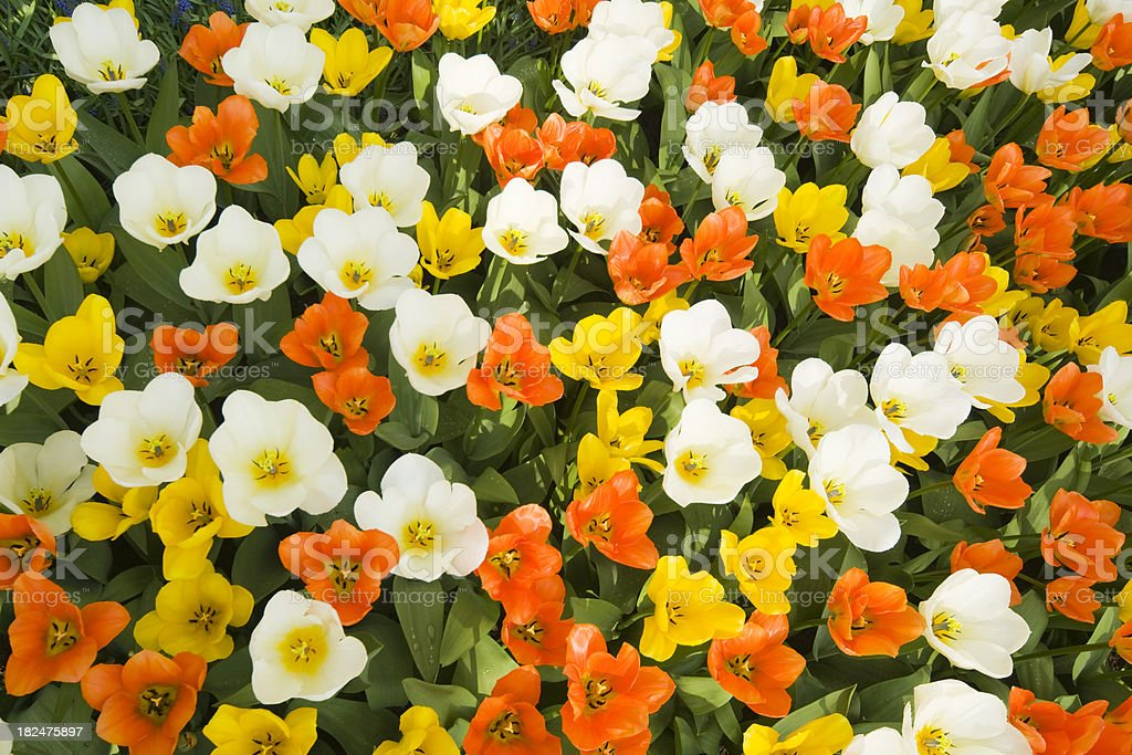 Bed of red and white tulips, seen from above stock photo