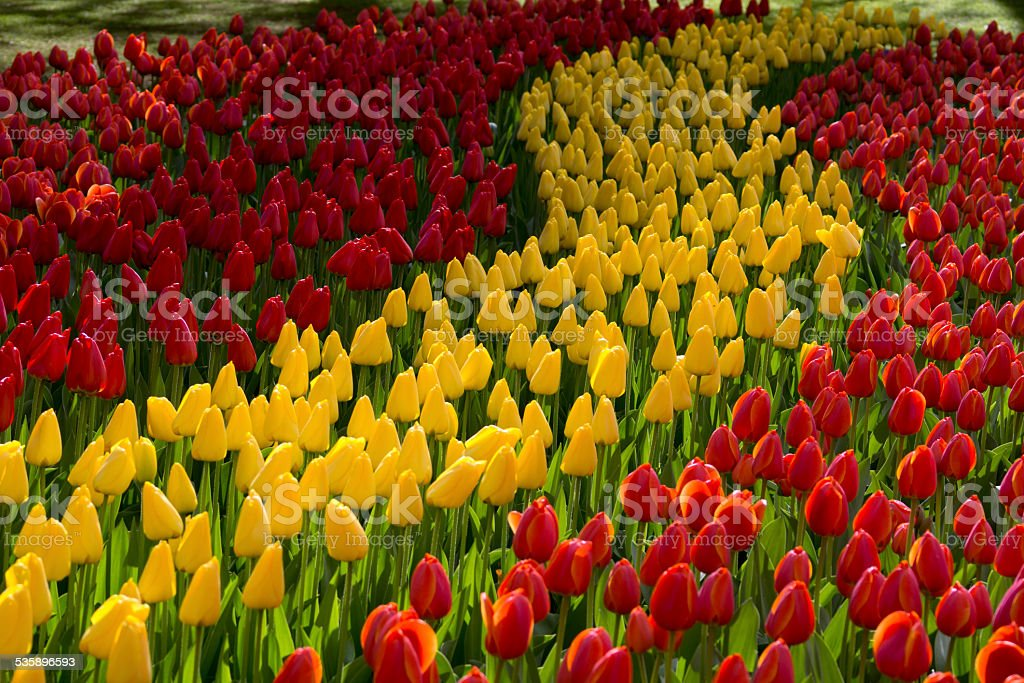Bed of red and yellow tulips, growing in curved lines stock photo