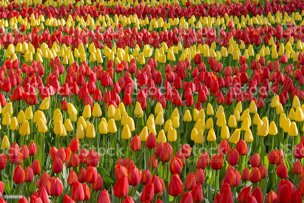 Bed of red and yellow tulips, growing in straight lines stock photo
