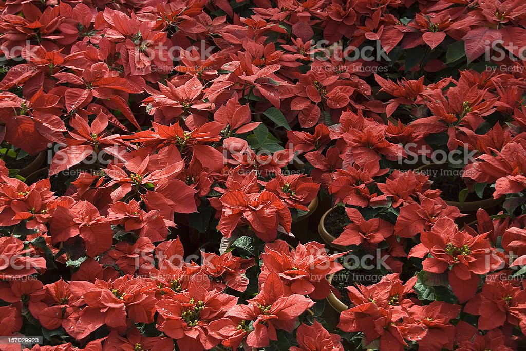 Bed of Red Foliage stock photo