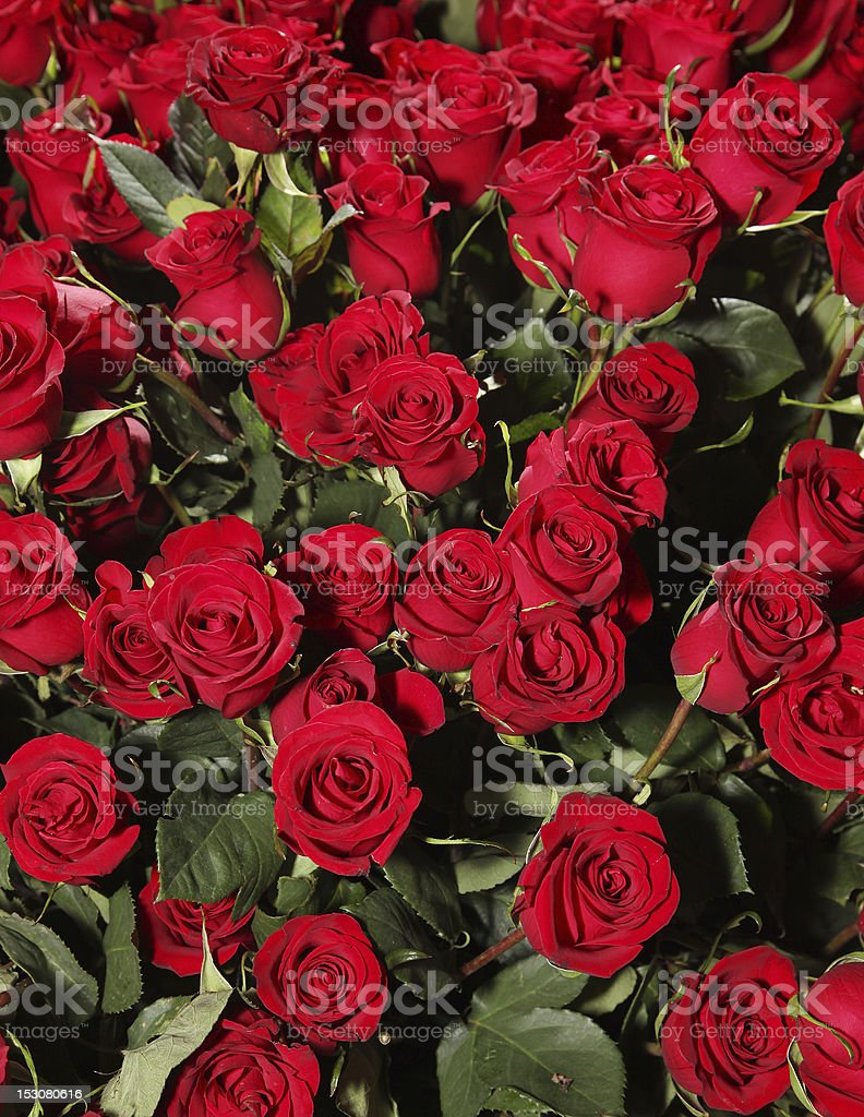 Bed of red roses royalty-free stock photo