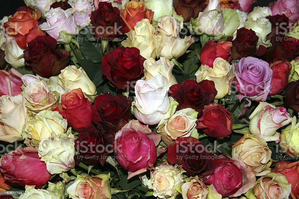 Bed of roses, different colors royalty-free stock photo