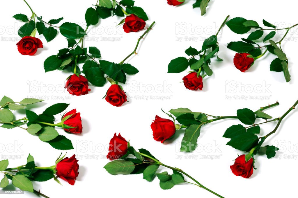 Bed of Roses on White Background stock photo