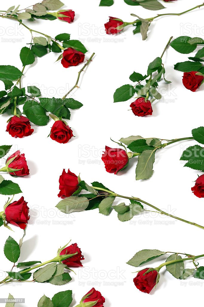 Bed of Roses on White Background royalty-free stock photo