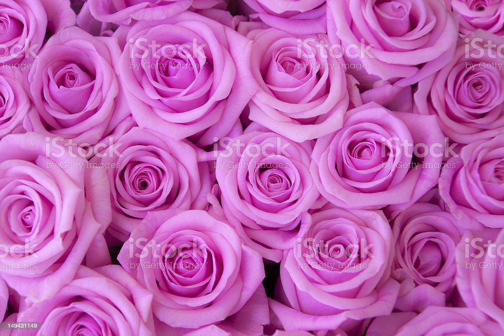 Bed of Roses royalty-free stock photo