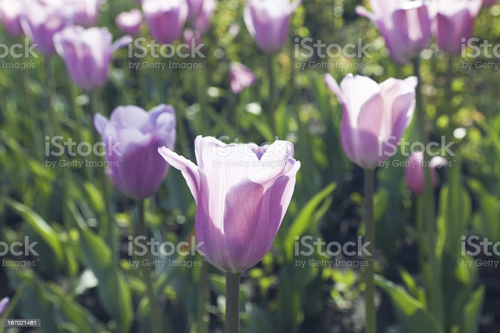 Bed of tulips royalty-free stock photo