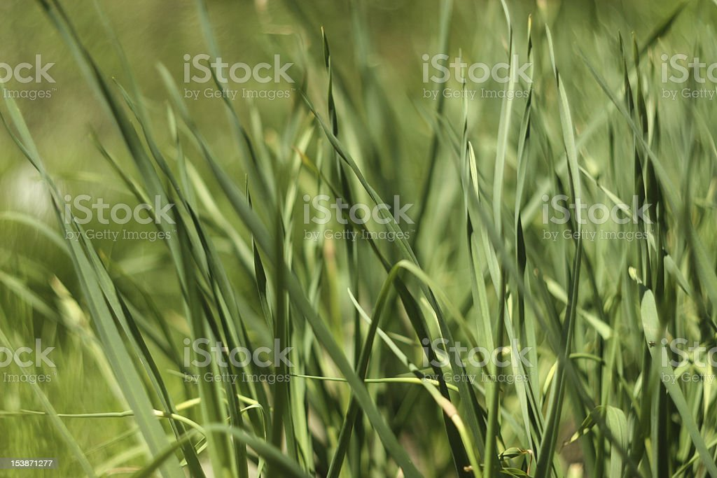 Bed with garlic royalty-free stock photo
