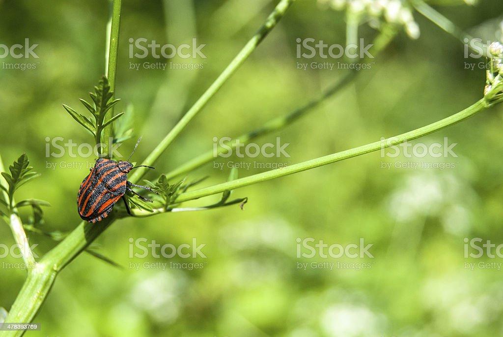 bedbug on flower stock photo