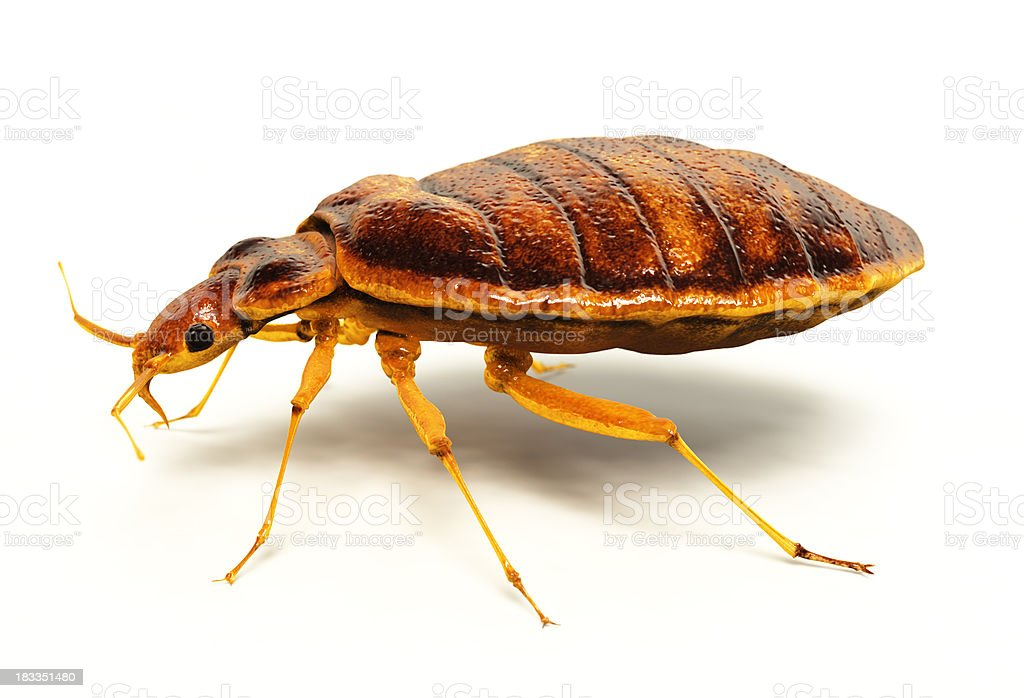 Bedbug royalty-free stock photo