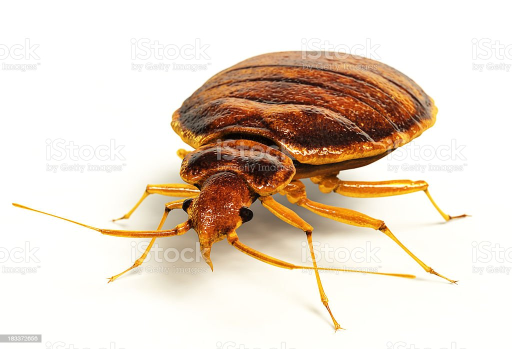 Bedbug royalty-free stock photo