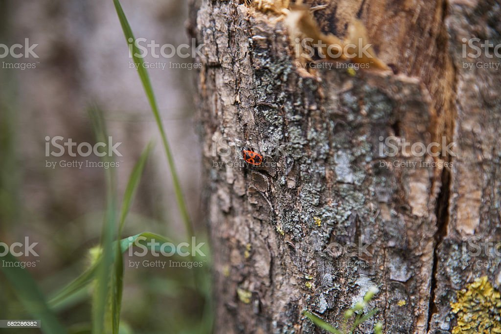 Bedbug-soldier on a tree stock photo