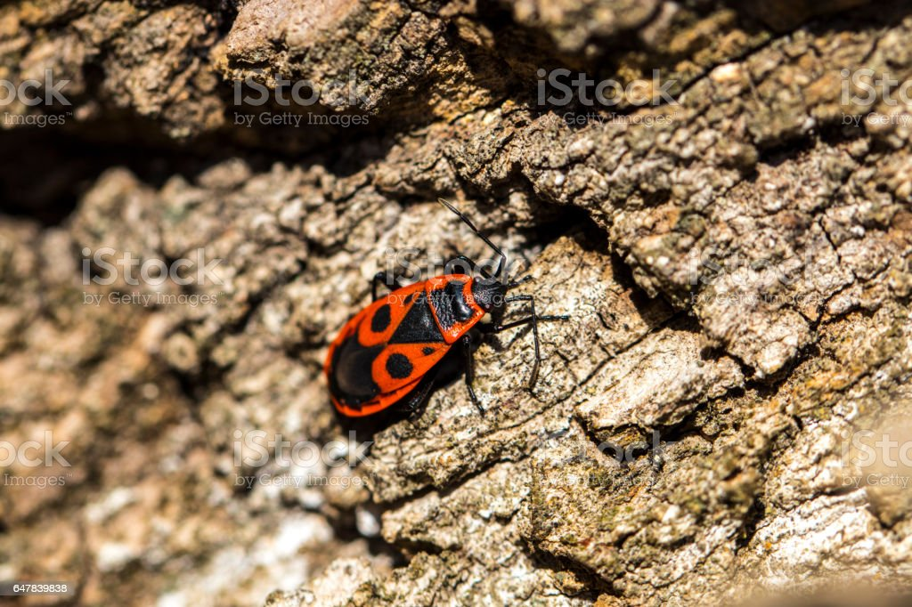 Bedbug-soldier on a tree trunk, red-black beetle, super macro mode stock photo