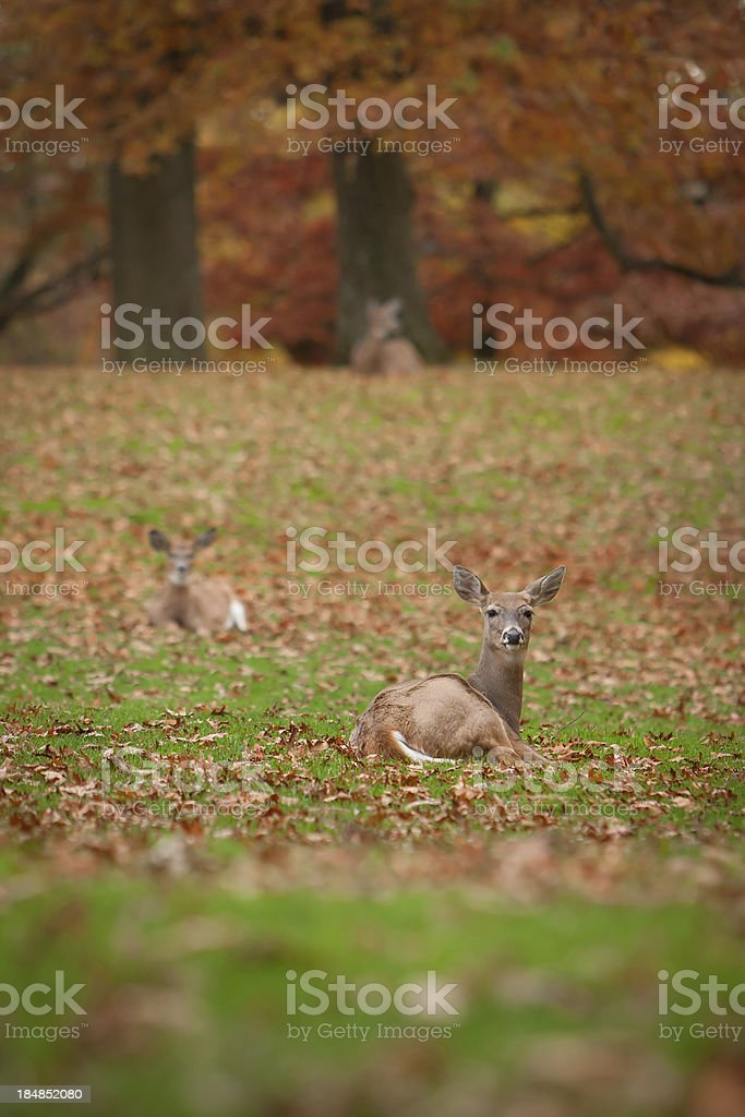 Bedded Down Whitetail Deer stock photo