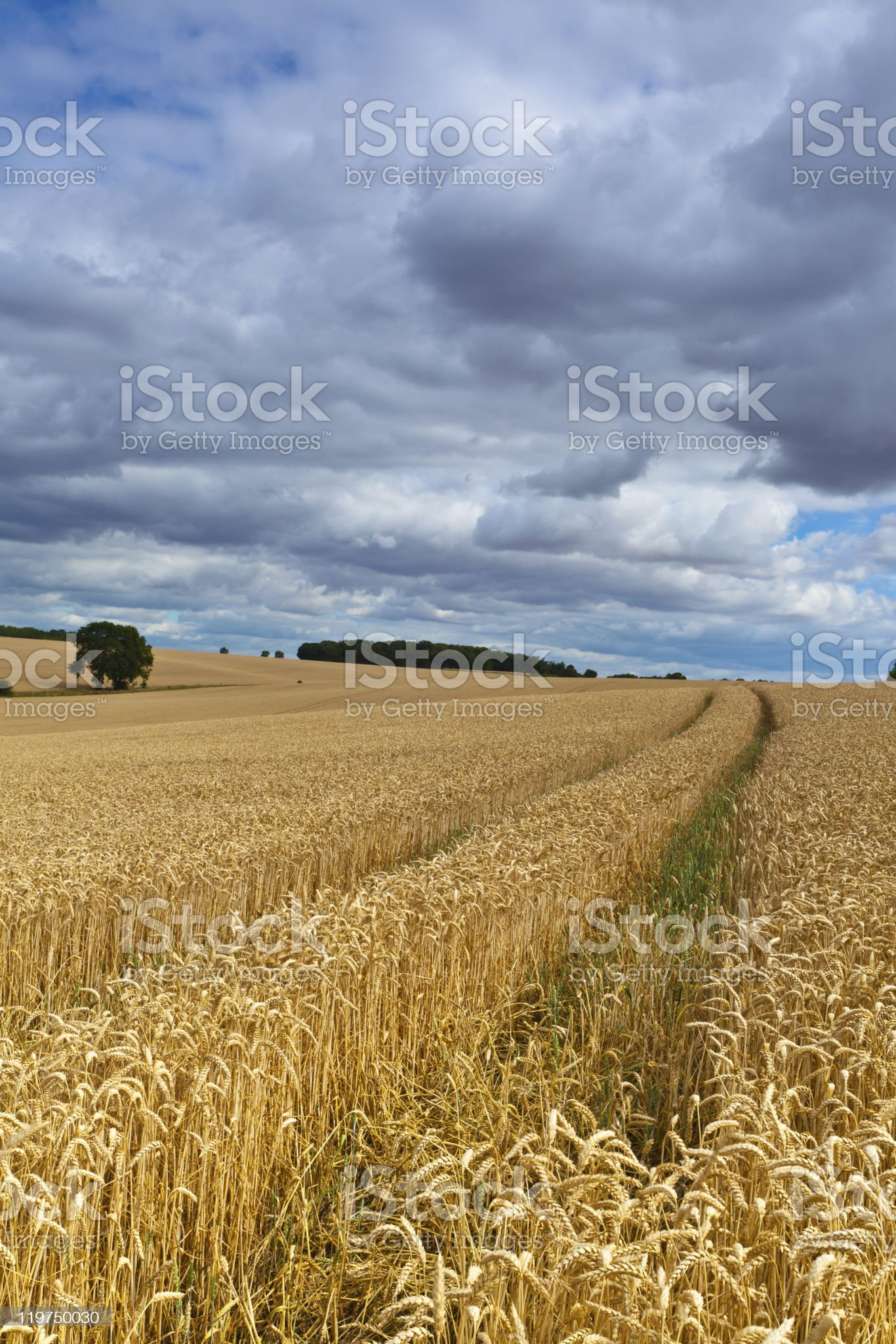 Bedfordshire wheat field royalty-free stock photo