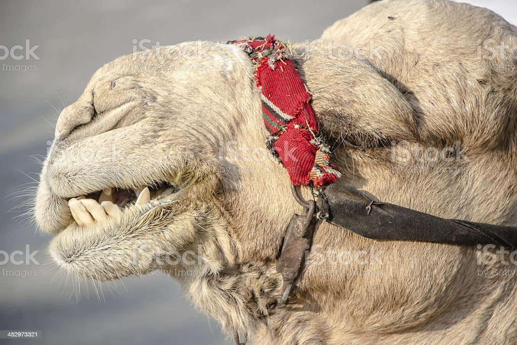 Bedouin camel in Israel near the Dead Sea royalty-free stock photo