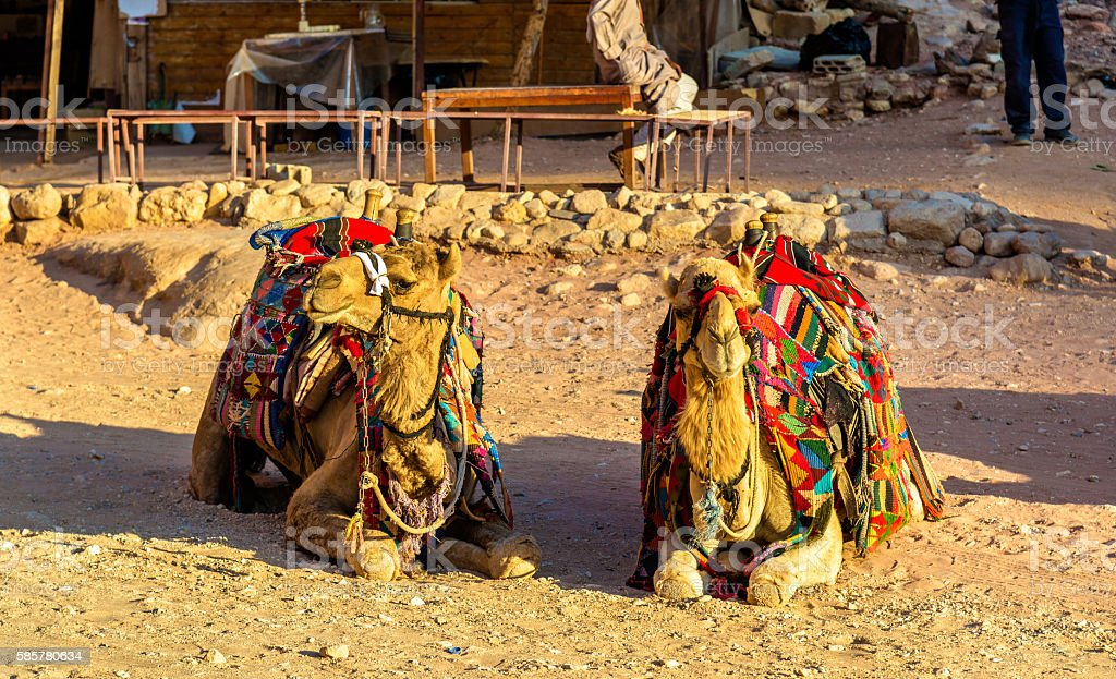 Bedouin camels rest in the ancient city of Petra stock photo