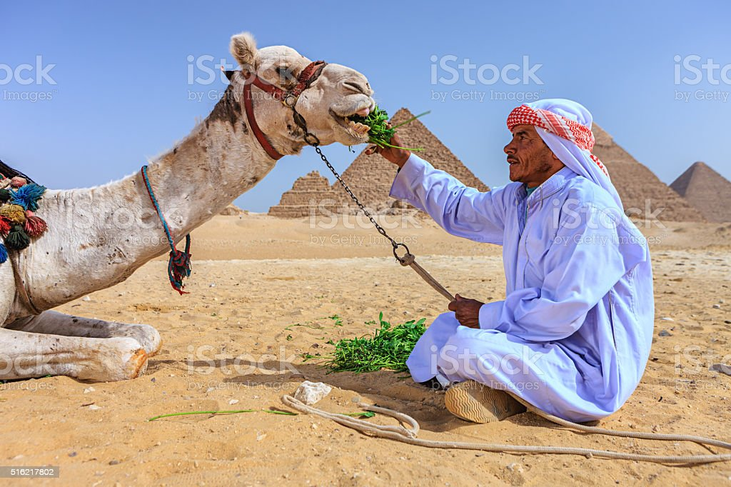 Bedouin feeding his camel, pyramids on the background, Egypt stock photo
