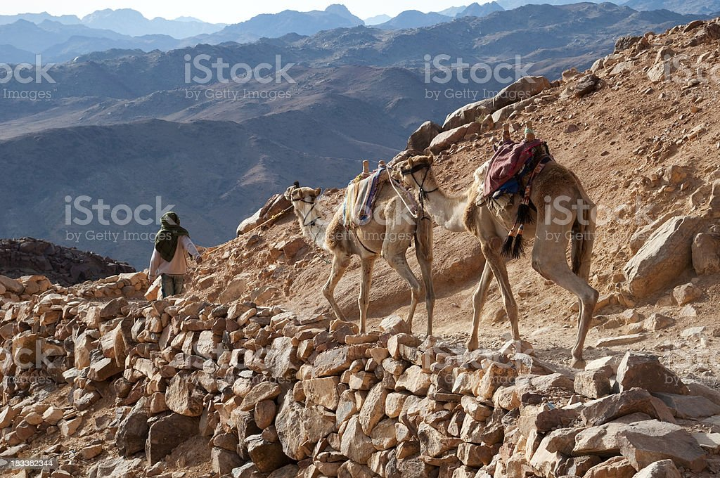 Bedouin leading camels in desert down Mt. Sinai royalty-free stock photo