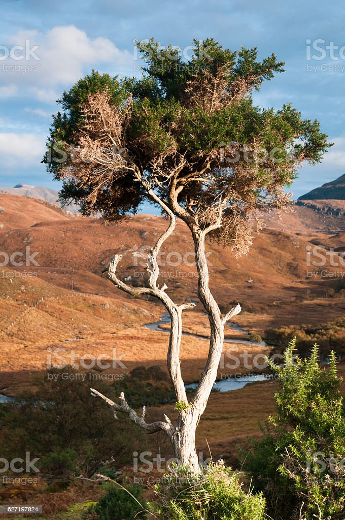 Bedraggled Gorse stock photo