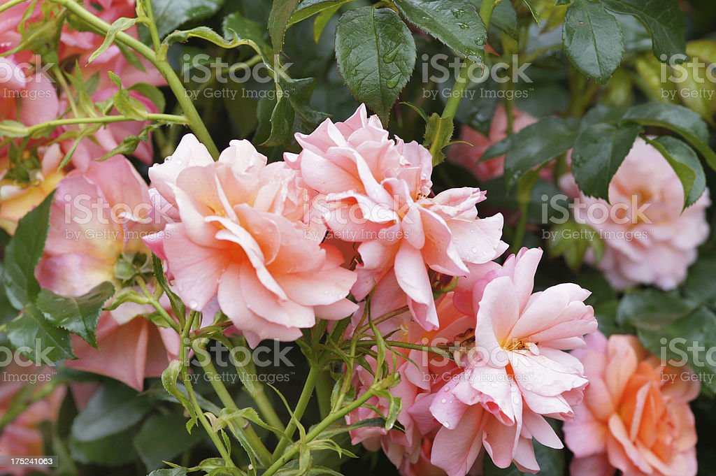 Bedroses Apricola royalty-free stock photo