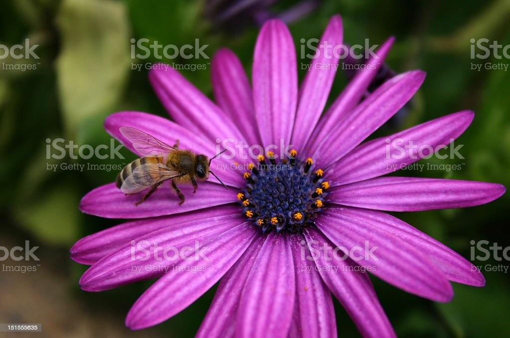 bee and a daisy royalty-free stock photo