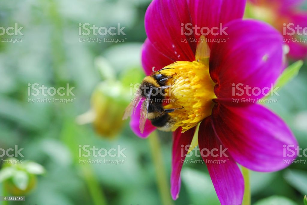 Bee and a flower stock photo