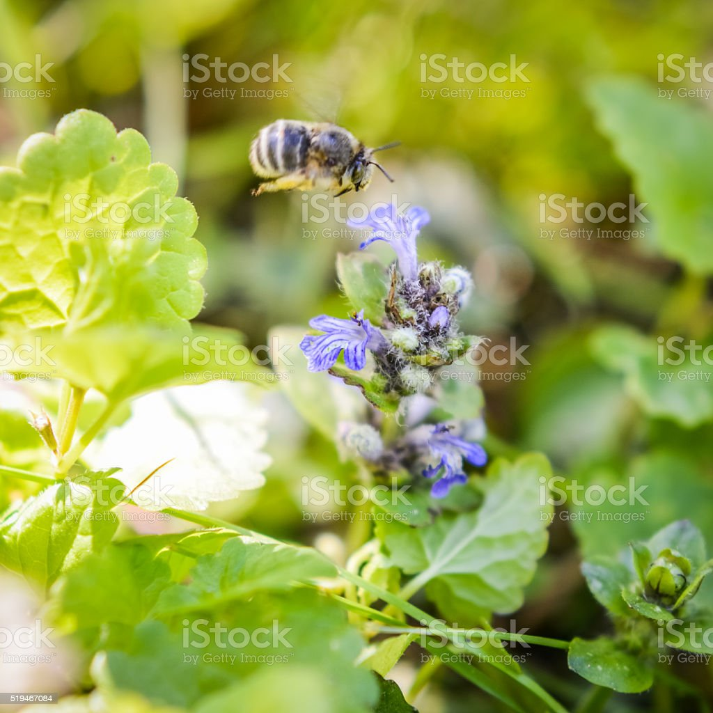 bee and ajuga flowers stock photo
