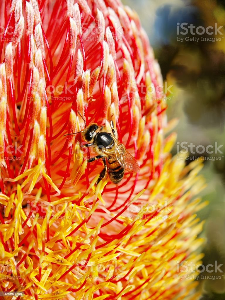 Bee and Banksia stock photo