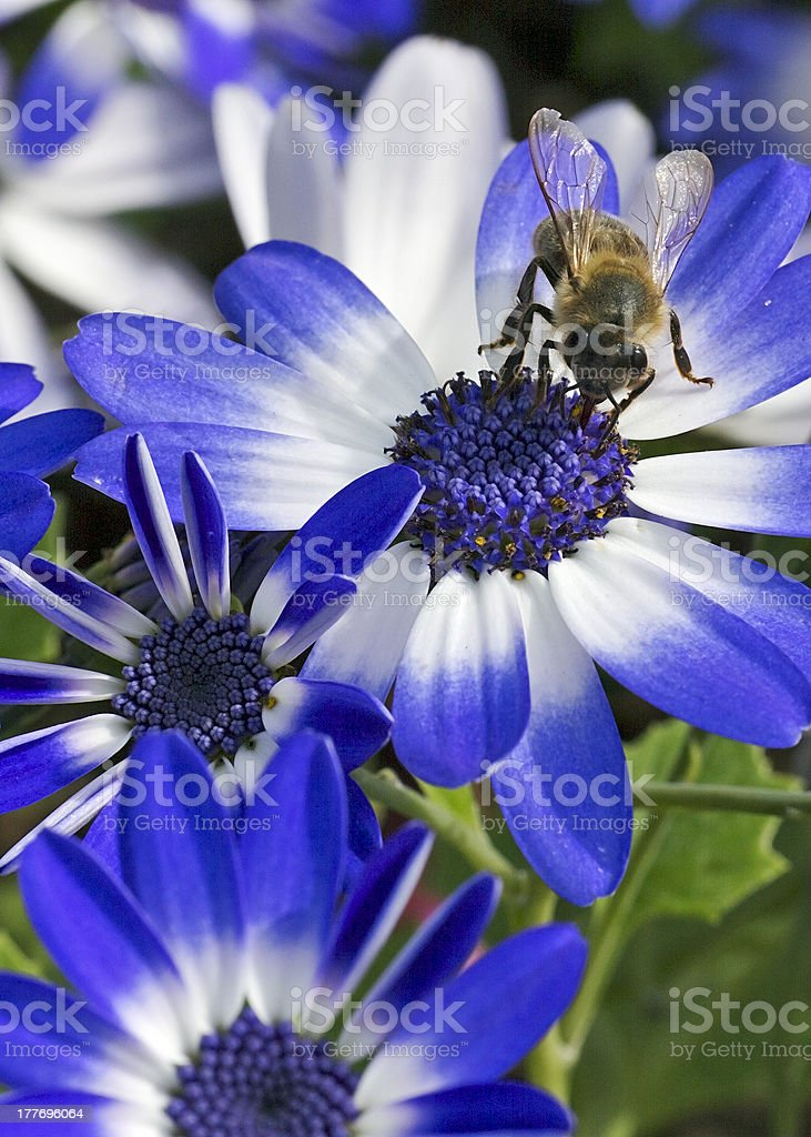 Bee and blue flowers royalty-free stock photo