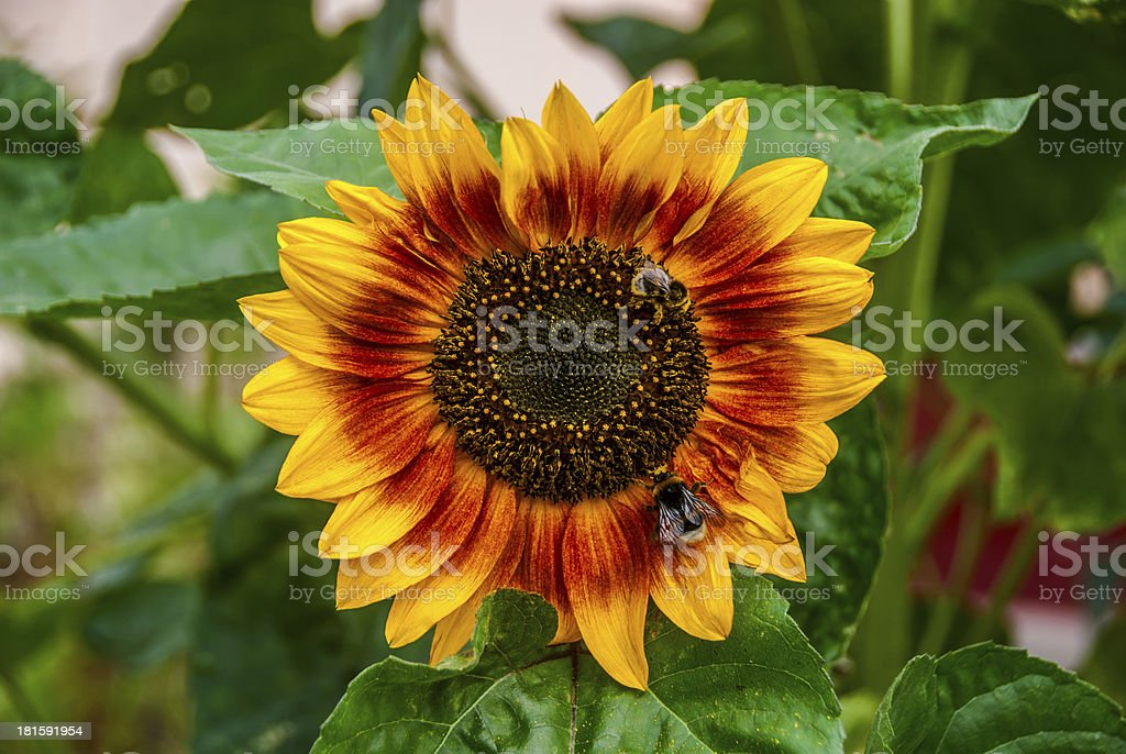 bee and bumblebee on a sunflower royalty-free stock photo