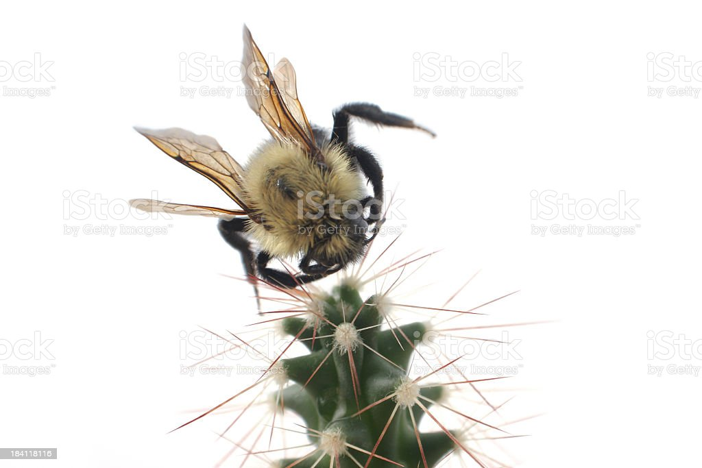 Bee and cactus stock photo