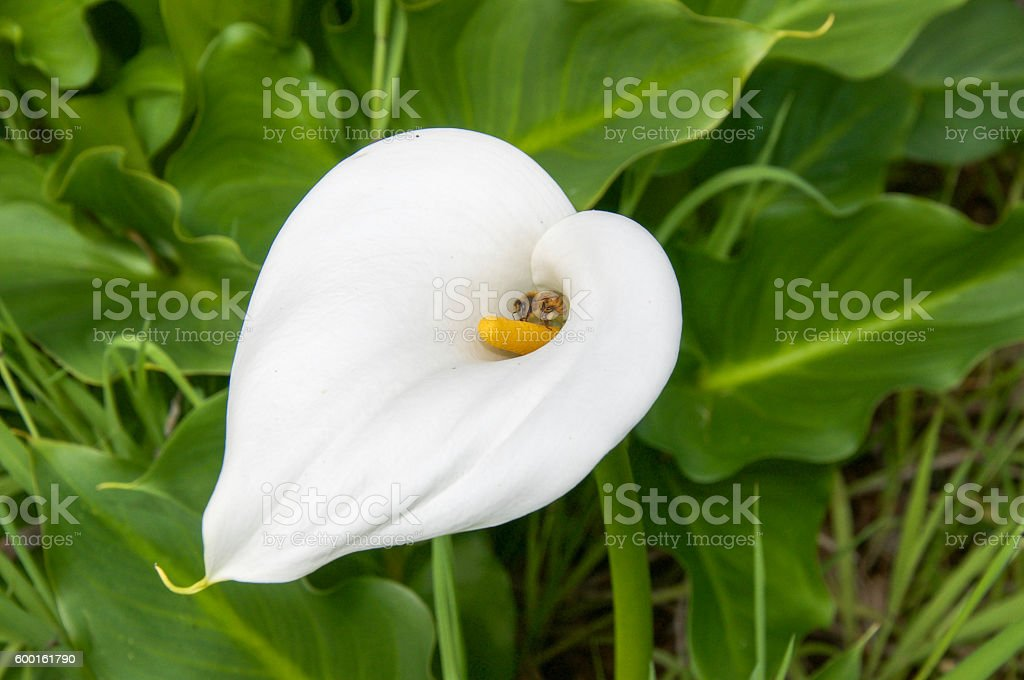 Bee and Calla Lily stock photo