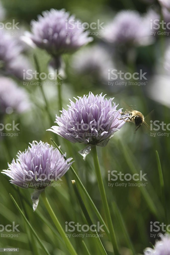Bee and chives stock photo