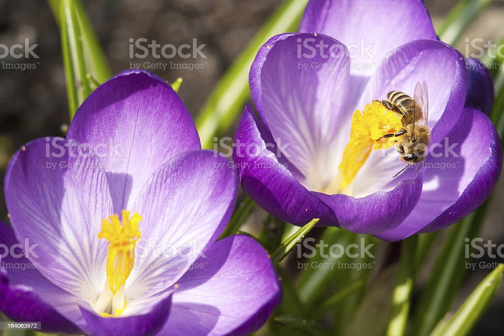 Bee and crocuses royalty-free stock photo