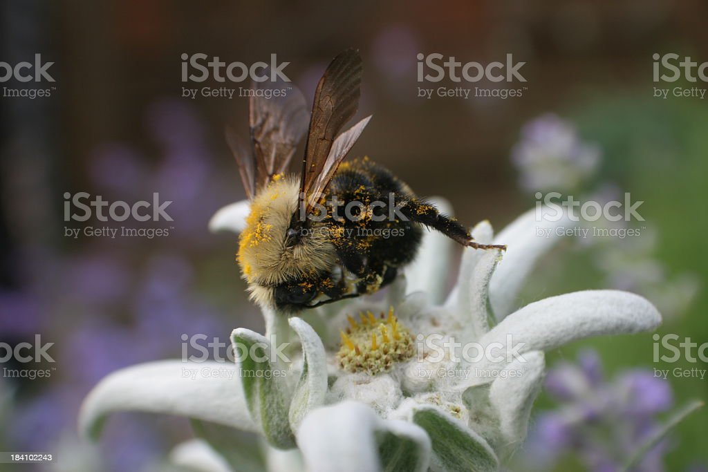 Bee  and Edelweiss stock photo