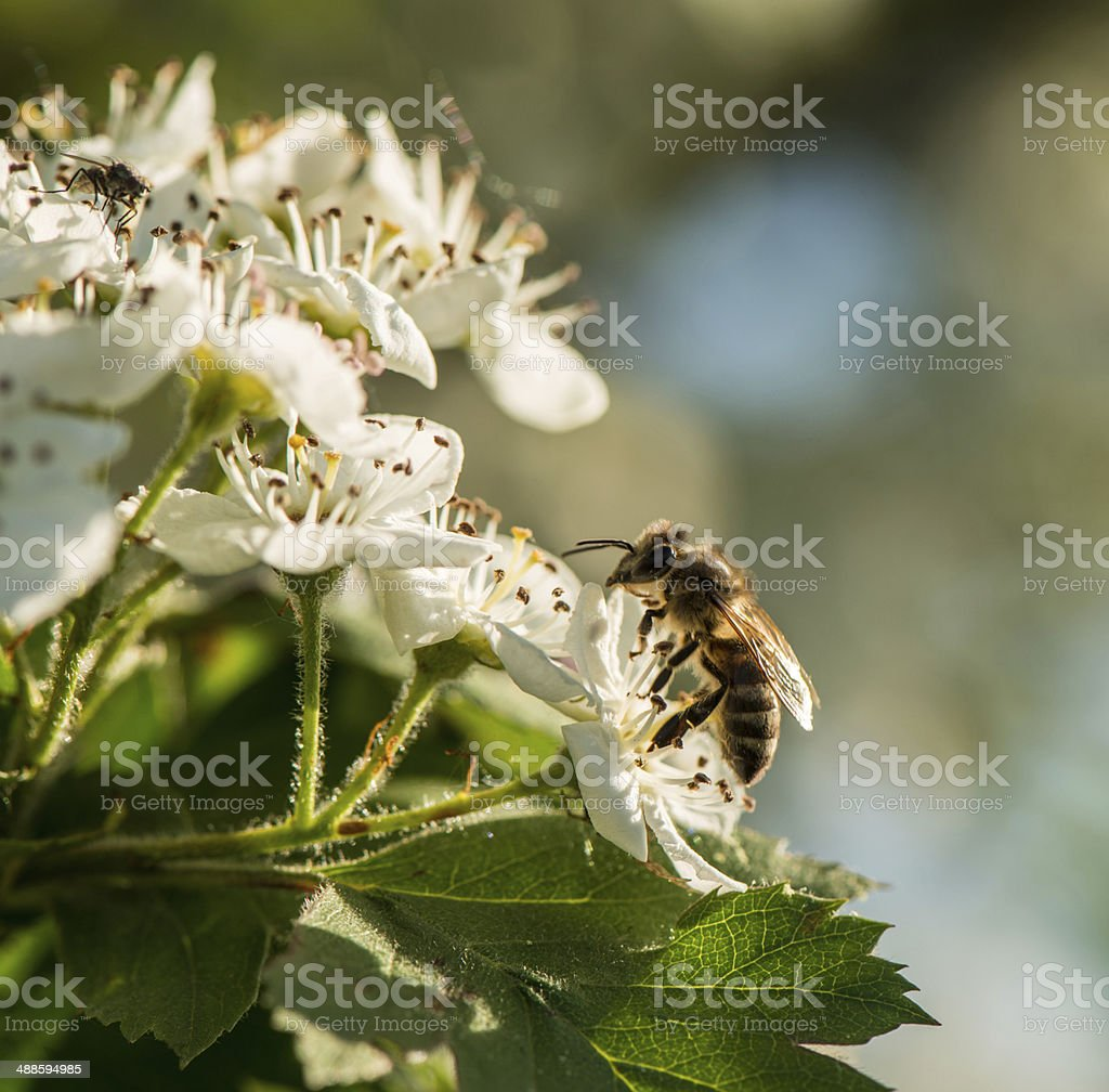 bee and flowers royalty-free stock photo
