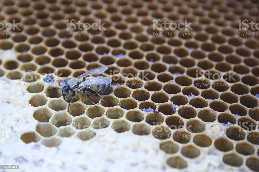 bee and honeycomb stock photo
