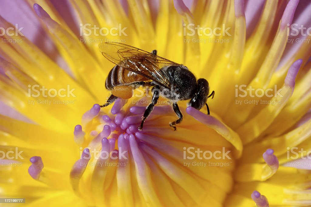 Bee and Lily royalty-free stock photo
