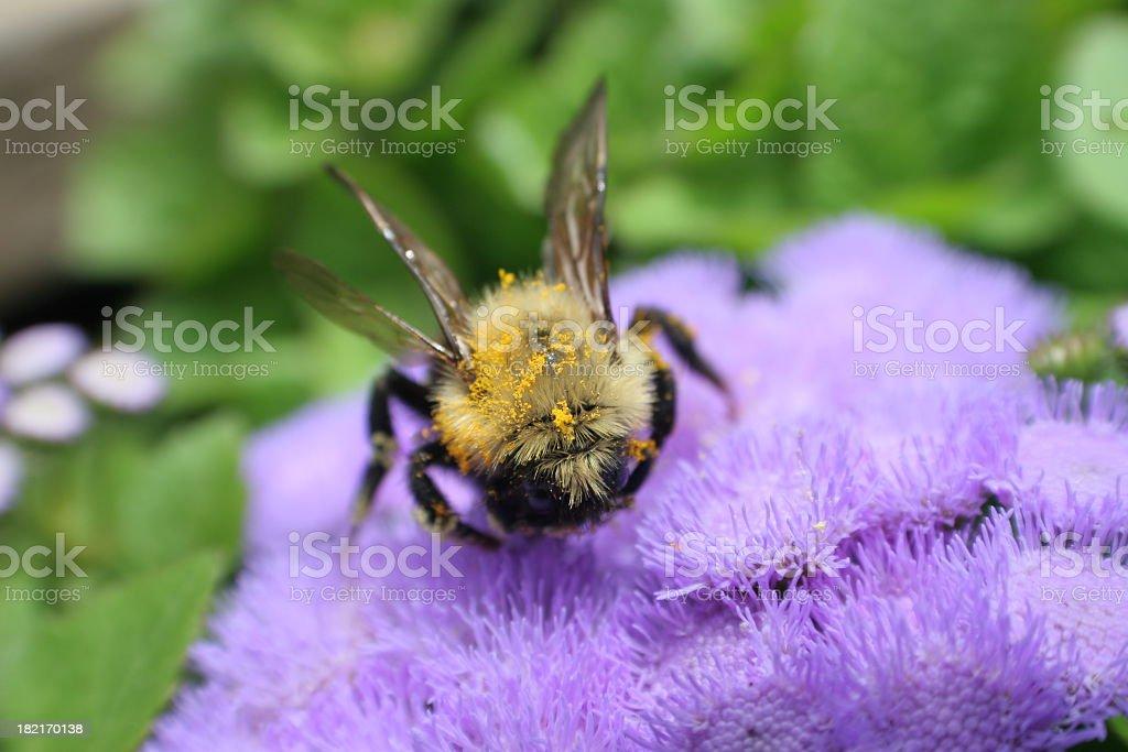 Bee and purple flowers stock photo