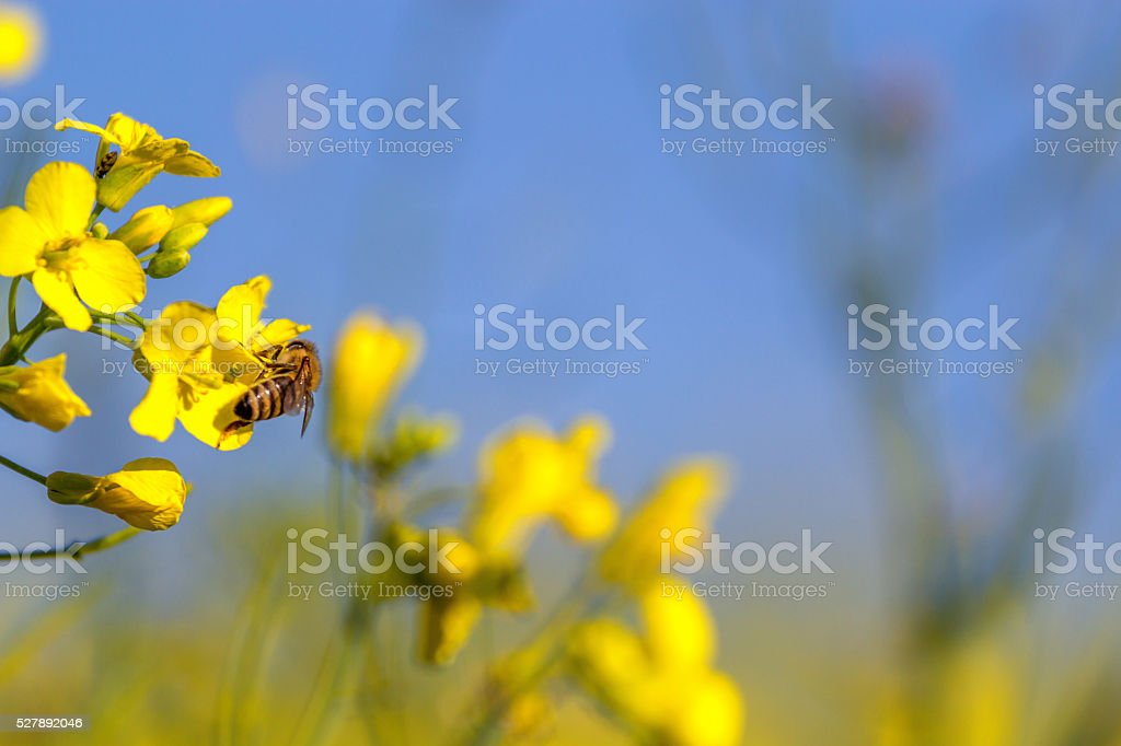 bee and rape flower stock photo