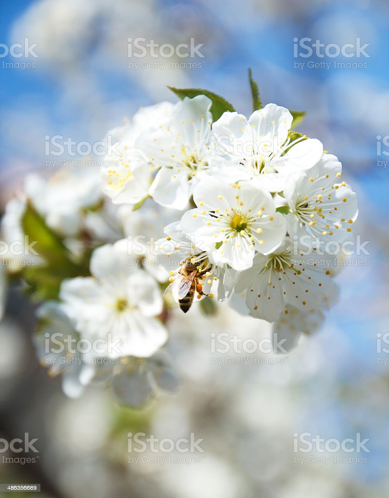 Bee and spring white blossoms royalty-free stock photo