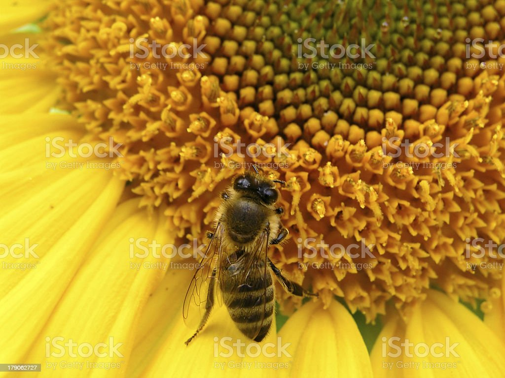 Bee and sunflower 2 royalty-free stock photo